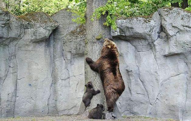 Bidecalogo6-mamma-orsa-mostra-ai-cuccioli-come-si-fa