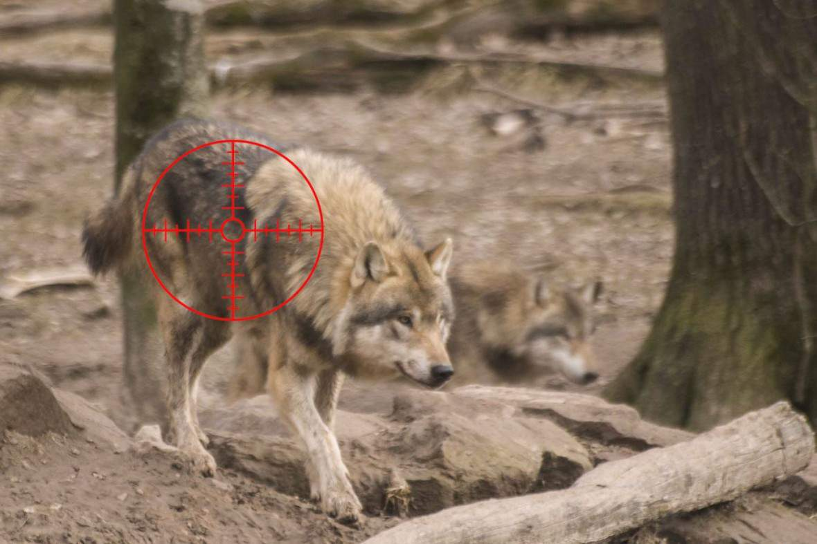 LupiSavoia-loup-cible-3