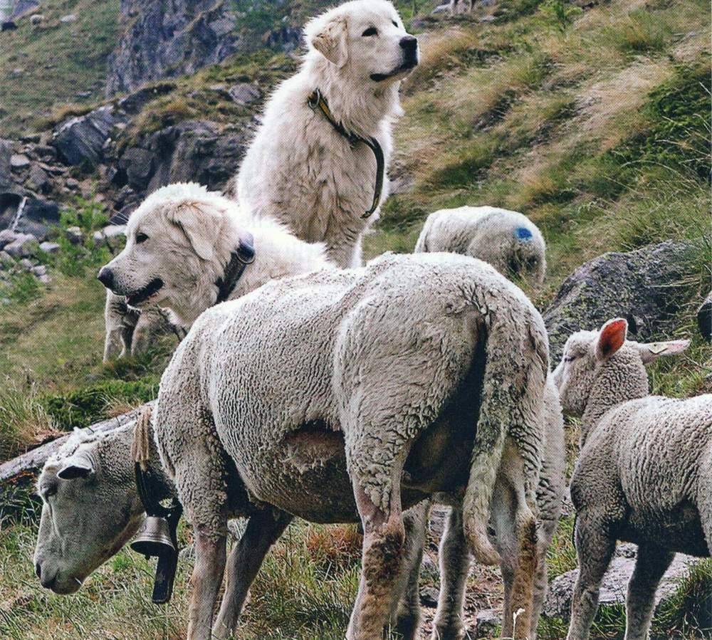 Caniprotezionegreggi e cani pastore-1