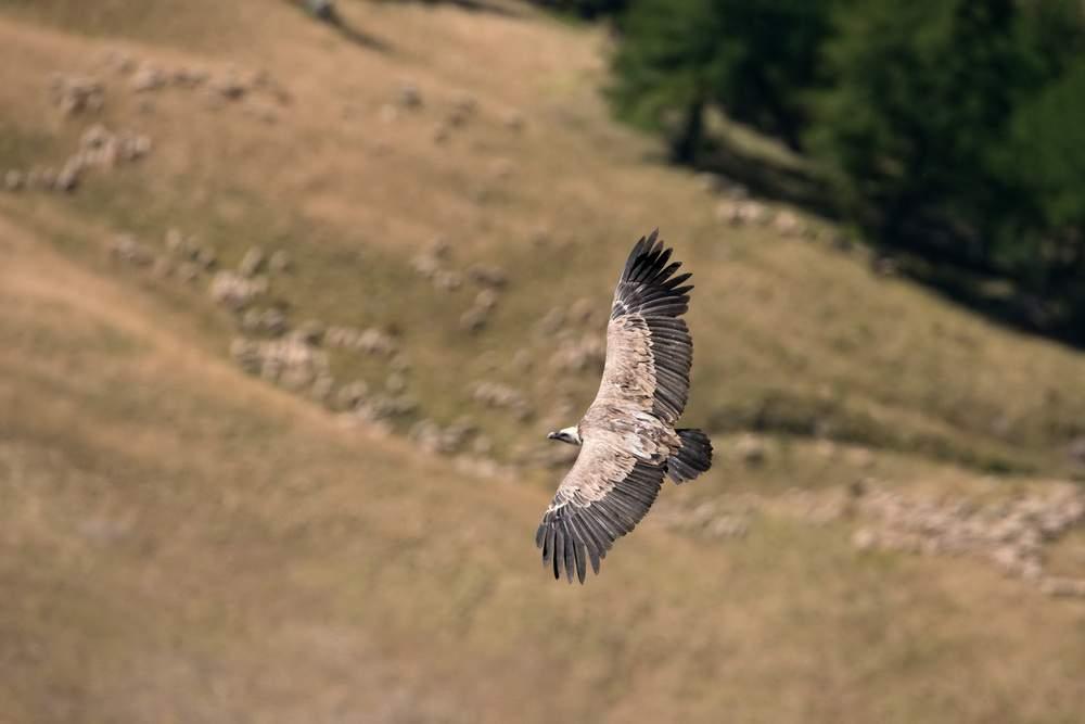 EscursioneCheFai-grifone-vautours-fauves