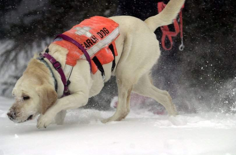 "ADVANCE FOR MONDAY, MARCH 26--Larimer County Search and Rescue dog Rosie tracks ""victims"" buried in the snow during a avalanche training exercise Feb. 11, 2001, at Cameron Pass, Colo. Despite increasing avalanche death tolls, hikers, skiers, snowboarders and snowmobilers continue to head into the nation's backcountry. (AP Photo/The Coloradoan, Rich Abrahamson)"
