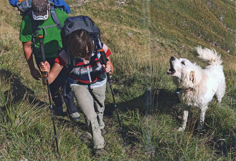 Cani da protezione delle greggi e cani pastore -
