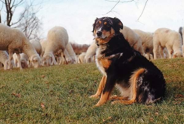 Caniprotezionegreggi e cani pastore