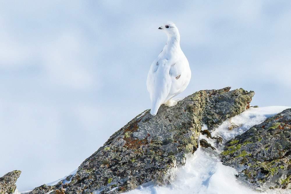 EscursioneCheFai-pernice-bianca-lagopus-muta-inverno-alpi-marittime