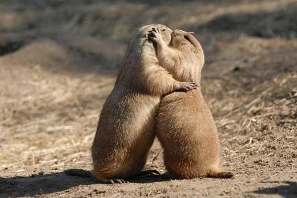 gli-spari-sopra-marmotte-che-si-baciano